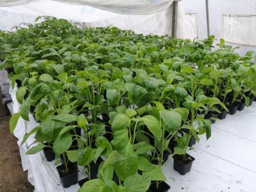 Pisikesed taimed on sirgunud noorukiteks ja enam ühte majja ära ei mahu. Tänaseks on 2 kasvumaja taimi täis. Külvid jäävad kolmandasse.