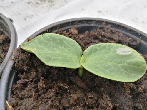 Hiigelkõrvitsa beebi. Lapsed tahavad Palamuse laadale enda hiigelkõrvitsad kasvatada.