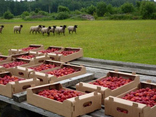 Maasikas müügiks valmis