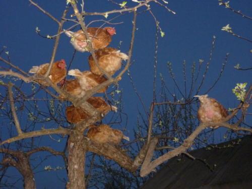 Need kanad istusid varakevadest kuni esimese lumeni puu otsas. Esimese lörtsiga käisin neid ükshaaval kuuti tassimas.