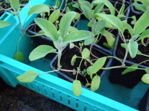 Hariliku salvei noored taimed