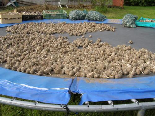 Küüslauk kuivab