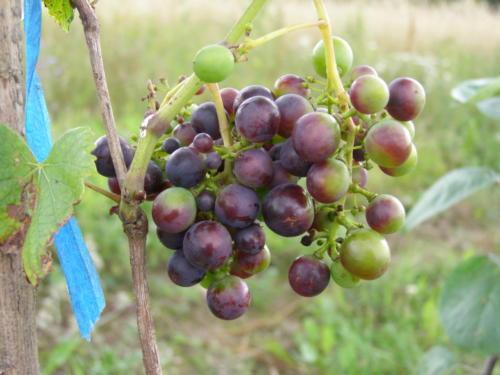 Verasioon, viinamarjad värvuvad põllul
